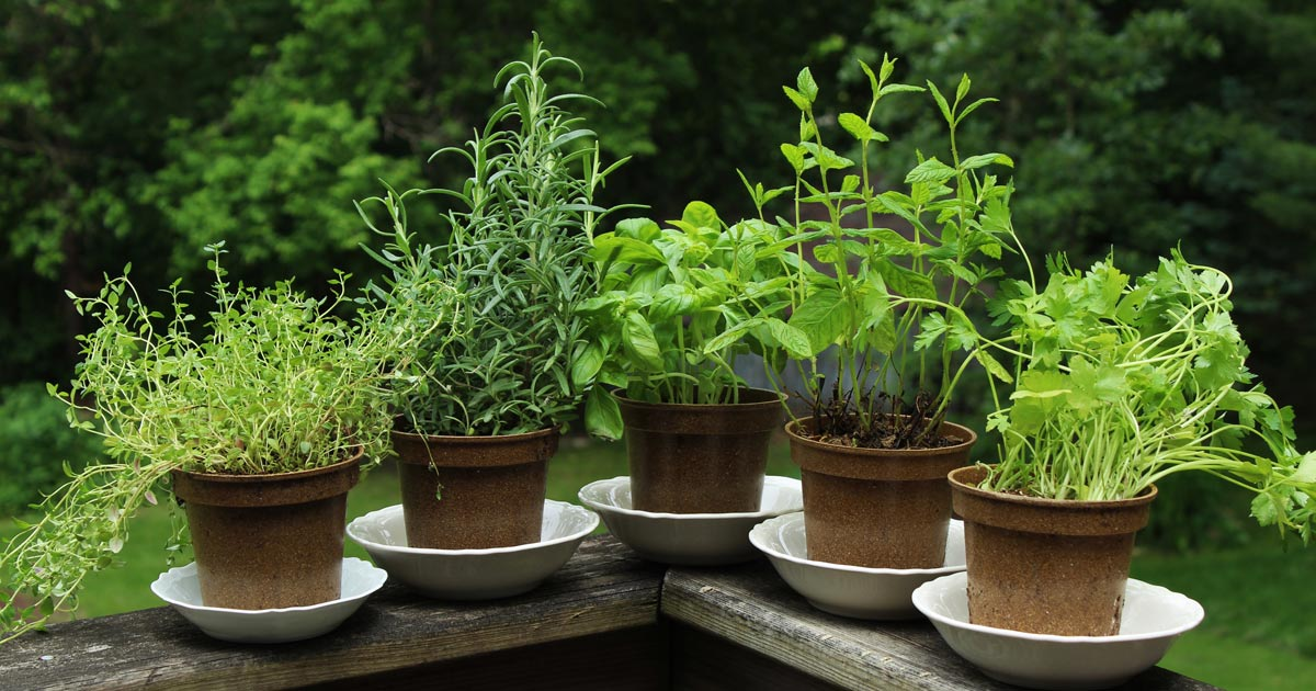 pots of fresh herbs
