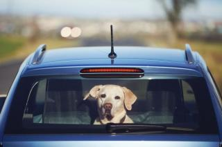 dog at the back of the car