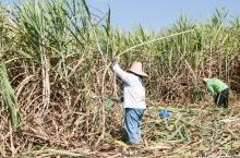 photo of sugar cane workers cutting sugar cane